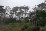 Monterey Coastal Pines