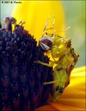 Jagged ambush bug with prey