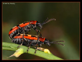 Common Asparagus Beetles Mating