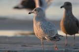 Glaucous x Herring (Nelson's Gull)