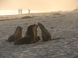 Australian Sea Lions, Kangaroo Island