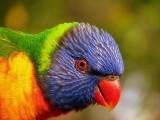 Hello, I'm a Rainbow Lorikeet