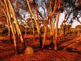 Kalgoorlie Gum Trees at Sunset