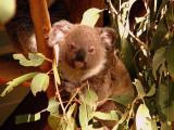 Koala, everybody say ahhhh.