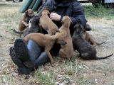 Lapful of puppies