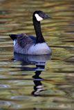 Canada Goose pb.jpg