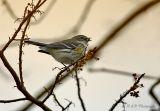 Yellow rumped warbler pb.jpg