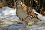 Redtail with mouse.jpg
