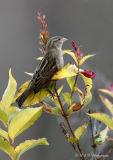 female sparrow pb.jpg