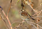 White throated sparrow pb.jpg