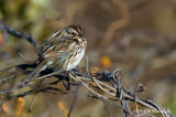 sparrow pb.jpg