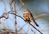 American Tree Sparrow pb.jpg
