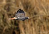 Red Tail Hawk 4 pb.jpg