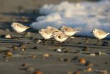Sanderlings 2 pb.jpg