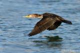 Cormorant pb.jpg
