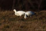 Snow Geese 2 pb.jpg