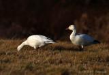 Snow Geese pb.jpg