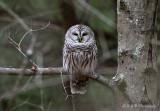 Barred Owl pb (Chepachet RI)