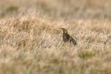 Eastern Meadowlark pb.jpg