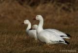 Snow Geese 3 pb.jpg