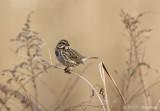 Song sparrow 2 pb.jpg