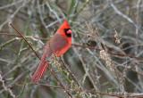 Northern Cardinal pb.jpg