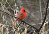 Northern Cardinal 3 pb.jpg