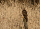 Northern Harrier pb.jpg