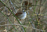 White Throated Sparrow pb.jpg
