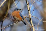 Eastern Bluebird pb.jpg