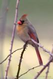Female Cardinal pb.jpg