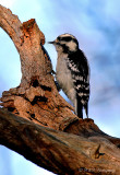 Downy Woodpecker 2 pb.jpg