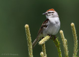 chipping sparrow 3 pb.jpg
