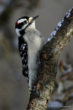 Downy Woodpecker pb.jpg
