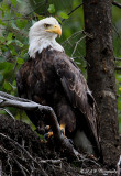 Alaskan Bald Eagle pb.jpg