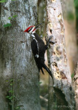 Pileated Woodpecker pb.jpg