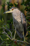 Black Crowned Night Heron pb.jpg
