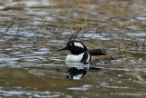 Hooded Merganser 1 pb.jpg
