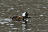 Hooded Merganser 3 pb.jpg