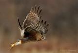 Northern Harrier pb.jpg