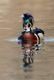 Wood Duck pb.jpg