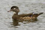 Female Wood Duck pb.jpg
