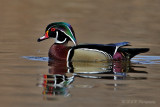 Wood duck 4 pb.jpg