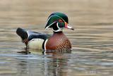 Wood duck 6 pb.jpg