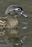 Female wood duck 2 pb.jpg