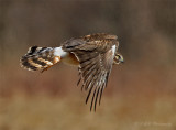 Northern Harrier 2 pb.jpg