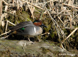 Green Winged Teal 2pb.jpg