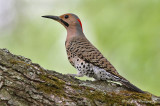 Northern Flicker Yellow-Shafted pb.jpg