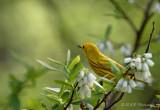 Yellow Warbler pb.jpg