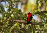 Scarlet Tanager pb.jpg